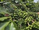 Lần đầu tiên cà phê Đà Lạt nhận quyền sử dụng nhãn hiệu
