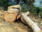 Dự án cải tạo rừng nghèo kiệt: Có công văn tạm dừng thì... rừng đã kiệt!