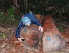 Phát hiện vụ khai thác, tập kết trên 45m3 gỗ giữa rừng