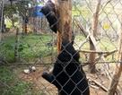 Chuyển giao Gấu ngựa cho Trung tâm cứu hộ động vật hoang dã