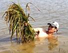 Nông dân khóc ròng vì hàng chục hecta lúa chìm trong nước
