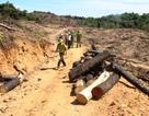 Phát hiện xưởng chế biến nghi chứa gỗ vụ phá 43 ha phá rừng