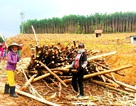 Trung Quốc ngừng mua, ngành dăm gỗ điêu đứng