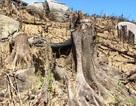 Sau vụ gần 61 ha rừng bị xóa sổ, huyện xây trạm kiểm lâm