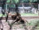 Trèo tường xem hổ, một học sinh bị hổ vồ rách chân
