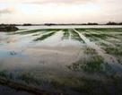 Lũ bất thường, hàng trăm ha lúa bị đánh tơi tả