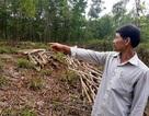 Quảng Nam: Người nông dân tần tảo trồng cây, nhiều người vào tranh thu hoạch