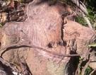 """Vụ rừng phòng hộ bị """"băm vằm"""": Chỉ là cây bụi rải rác?"""