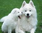 Điểm danh những loài chó đắt nhất thế giới