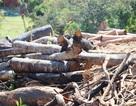 Vụ 43 ha rừng bị xóa sổ: Con số thực tế là 61 ha