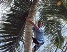 Mưu sinh trên... ngọn dừa