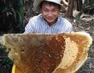 Chua chát nghề săn mật ong