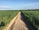 Ngành mía đường phát triển với nông nghiệp hữu cơ