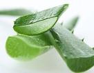Thuốc tránh thai từ cây nha đam