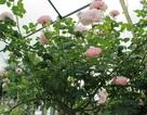 Mãn nhãn vườn hồng cổ 2 vạn gốc quý hiếm bậc nhất Hà Nội