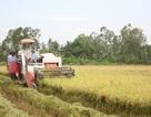 Lúa đông xuân giá cao, nông dân lãi lớn