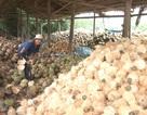 Liên kết tiêu thụ dừa chịu sức ép từ thương lái Trung Quốc