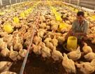 Giá gà chạm đáy 10 năm, người nuôi lao đao