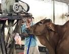 Bơm 20 lít nước vào bụng bò trước khi giết mổ để kiếm lời
