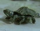 Rùa đột biến hai đầu sáu chân xuất hiện ở Trung Quốc