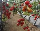 Dịch bệnh hoành hành, cà chua Đà Lạt tăng giá mạnh
