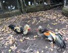"""Thăm """"vương quốc"""" nuôi gà bán Tết ở xứ dừa"""