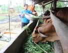 Phú Yên: Nhờ vốn vay thoát nghèo, nhiều hộ người dân tộc đã thành tỉ phú