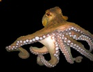 Tại sao bạch tuộc lại là một trong những sinh vật kỳ lạ nhất trong đại dương?