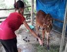 Dân nghèo được hỗ trợ... bò nhiễm bệnh?