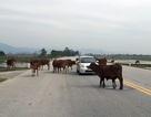 """Trâu bò vẫn """"thách thức"""" ô tô trên quốc lộ 8A"""