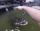 Rùng mình người đàn ông bơi lội giữa bầy 20 con cá sấu