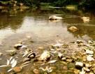 Cá lại chết hàng loạt trên sông Âm