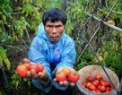 """Cà chua tại vườn """"rẻ như cho"""" 1.000 đồng/kg, ra chợ đắt gấp 10"""