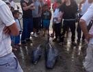 Quăng lưới bắt được 3 con cá heo, ngư dân thả cá về biển
