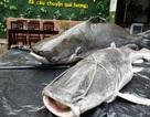 """Đưa cặp cá """"khủng"""" từ Campuchia về Đà Nẵng"""