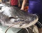 Cận cảnh cá lăng nặng hơn 100kg, dài hơn 2m tại Hà Nội