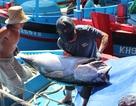 Ngư dân kiếm 120-150 triệu đồng/tàu sau chuyến biển câu cá ngừ đại dương