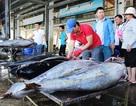 Ngư dân liên tiếp bội thu cá ngừ đại dương kể từ tháng Giêng