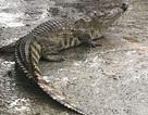 Cá sấu bò lồm cồm giữa chợ