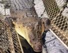 """Suýt bị cá sấu ăn thịt vì nhảy xuống sông để """"lấy le"""" với bạn gái"""