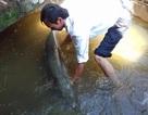 Bắt được cá sấu hỏa tiễn 28 kg ở... trong nhà
