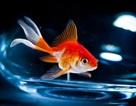 Cá vàng tự sản xuất ra rượu để sống sót khi thiếu khí ô-xy