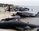 Hơn 400 cá voi mắc cạn bí ẩn tại New Zealand
