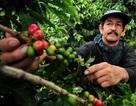 Hiện tượng nóng lên toàn cầu tác động lớn đến sản lượng cà phê