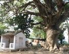 """Chuyện ly kỳ về những """"cụ cây thần"""" hàng trăm năm tuổi ở Việt Nam"""