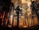Sự ấm lên toàn cầu có thể ngăn không cho rừng tái sinh sau khi cháy rừng