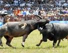 Bộ Văn hoá đề nghị ngăn chặn cá cược trong Lễ hội Chọi trâu Đồ Sơn