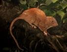 Phát hiện chuột khổng lồ có thể cắn vỡ quả dừa ở quần đảo Solomon