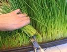 """Người Hà Nội """"rộ"""" trào lưu trồng lúa, ép nước uống trong nhà"""