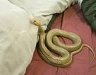 Australia: Rắn độc nhất thế giới chui vào chăn ngủ cùng cặp đôi trẻ